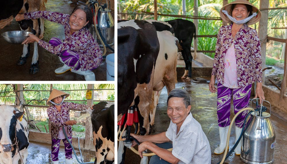 Phan Thi Loc and Tran Van Cong work hard to take care of their dairy business